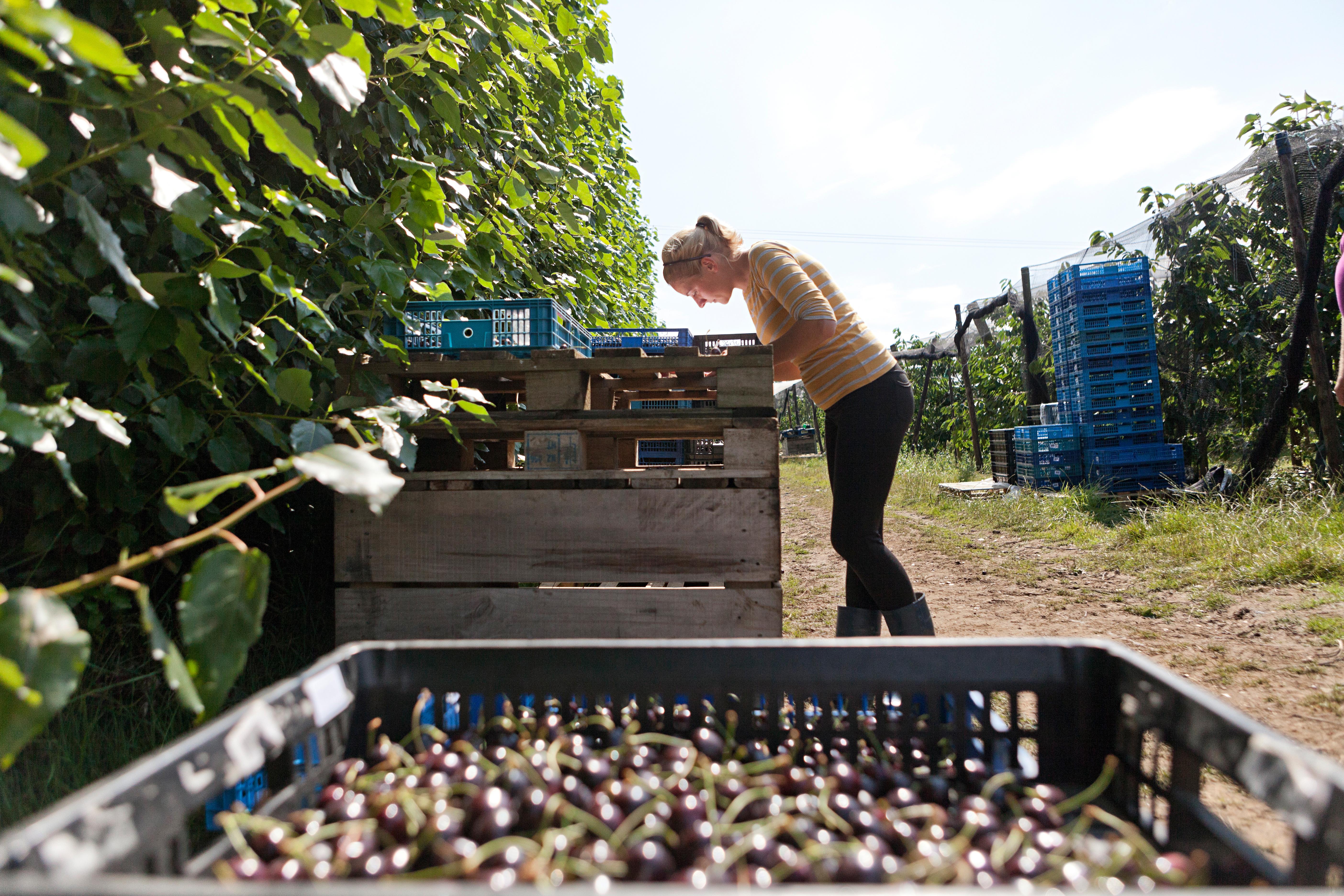 Woman-checking-cherries.jpg