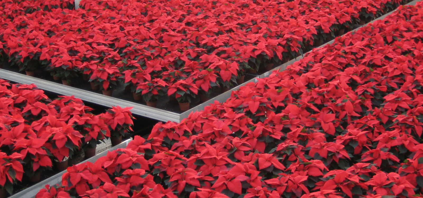 header-image-poinsettias.png