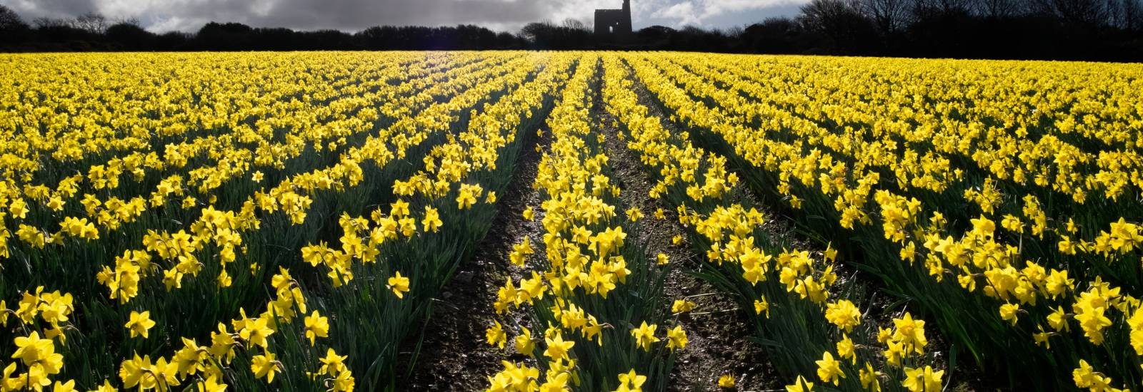 Daffs with engine house high res.jpg